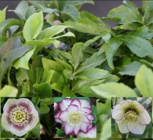 Hellebores sometimes know as Christmas or Lenten rose