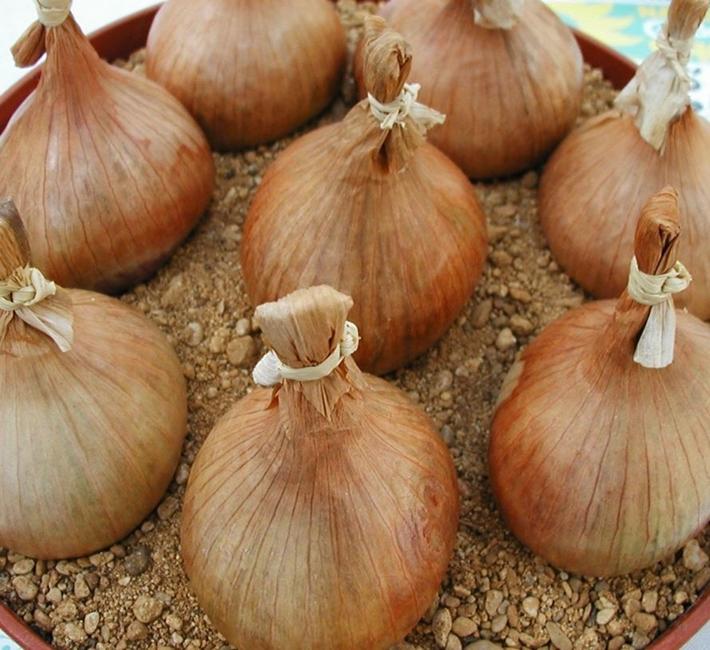 Home grown onions from farmyard nurseries