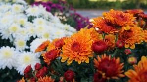 a border of chrysanthemums