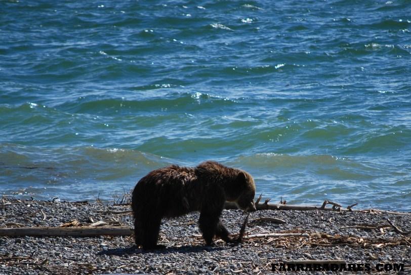 Grizzly Bear, urso pardo