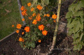 Indsamling af farveplanter til fryser