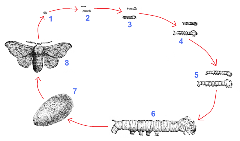 Ciclo da vida do bicho-da-seda, Bombyx mori.