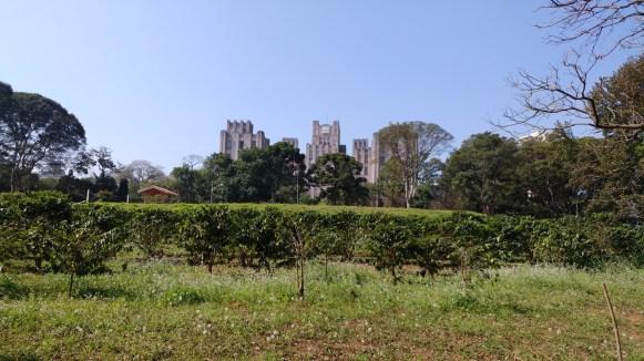 Maior plantação de café urbana - Instituto Biológico - SP Foto do Guilherme Sausanavicius @gsausanavicius
