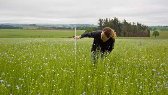 Imagem em plantação de linho com mulher fazendo medição das plantas