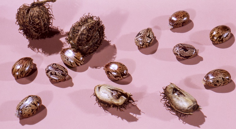 sementes de mamona ou rícino