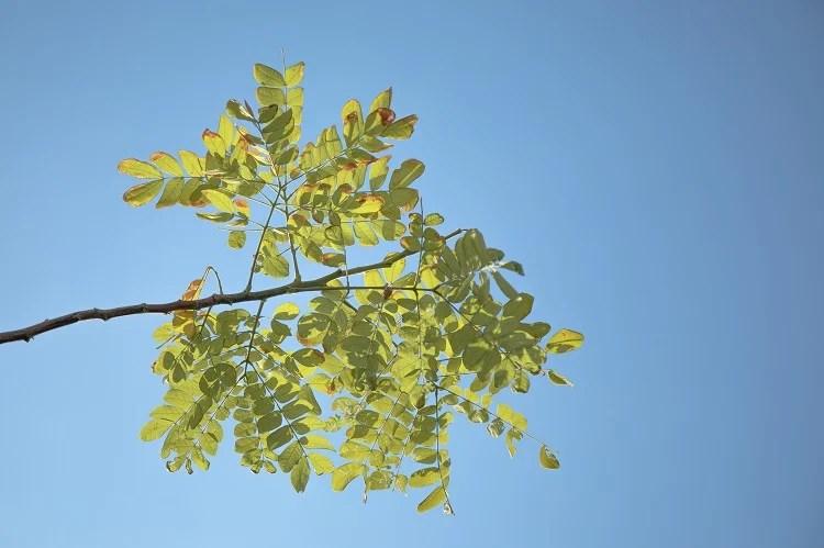 folha de moringa com céu azul ao fundo