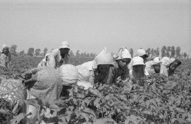 Trabalhadores catando algodão no Egito, c. 1950.
