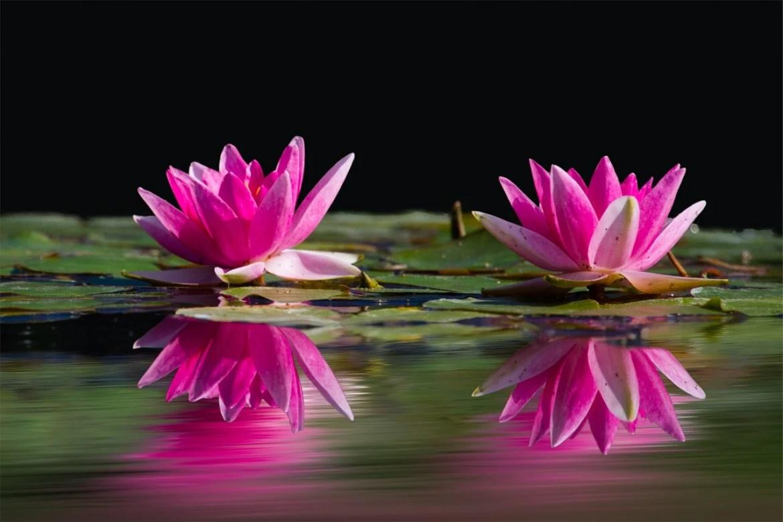 flor de lotus rosa