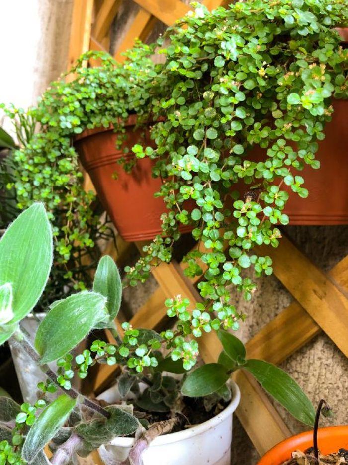 Planta para jardim suspenso.