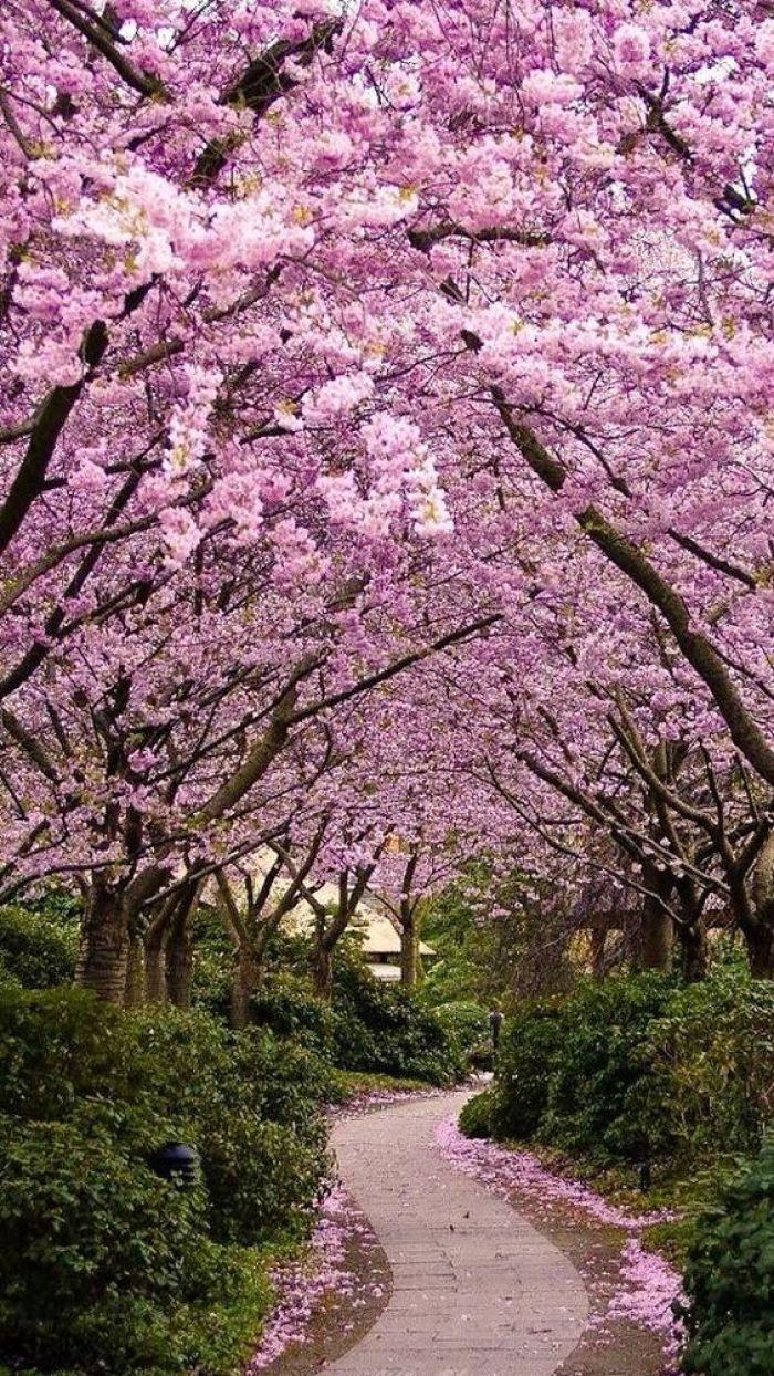 Caminho com cerejeiras.