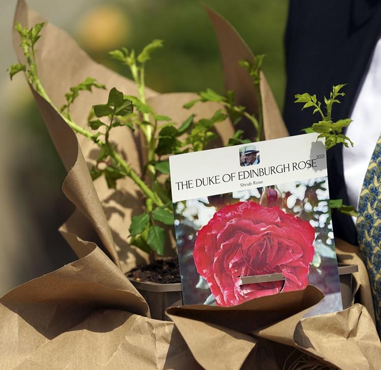 A rosa especialmente criada pela RHS em homenagem ao príncipe Philip.