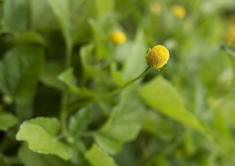 arbusto de jambu com flores amarelas