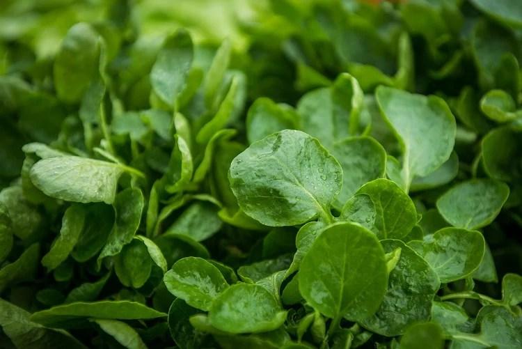Foto de folhas verdes de agrião, como cultivar verduras