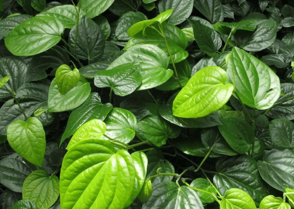 Piper Methysticum