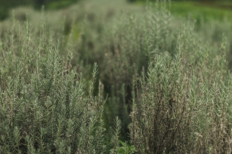 Foto de arbustos de alecrim