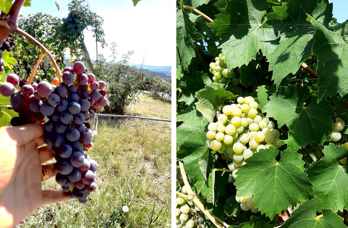 Fotos de um cacho de uva tinta e um cacho de uva branca nas suas respectivas videiras