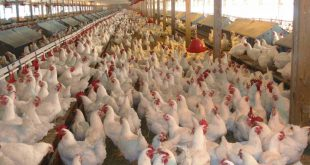 chicken revealed the presence of arsenic in poultry meat Chicken Revealed the Presence of Arsenic in Poultry Meat Chicken Revealed the Presence of Arsenic in Poultry Meat