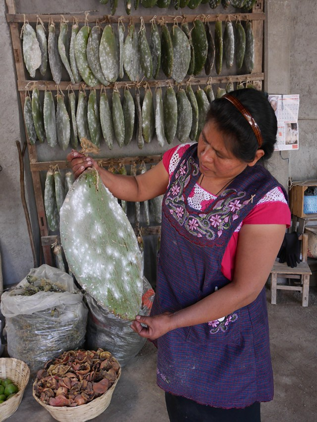 selecting nopal leaf