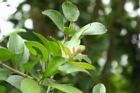 La plante du Henné