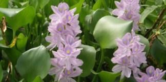 Eichhornia- crassipes- elle- peut- faire- des- miracles