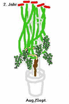 grapevines in pots auntie dogma 39 s garden spot. Black Bedroom Furniture Sets. Home Design Ideas