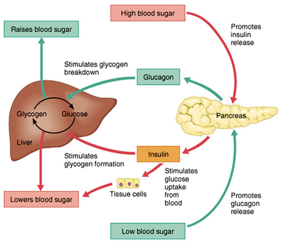 Insulin, and how the body controls storage and burning of glucose and fat |  FastDay Intermittent Fasting