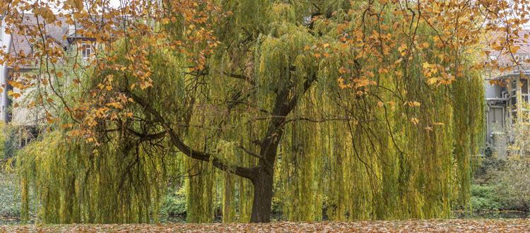 Weeping Willow Tree in Atlanta Ga yard