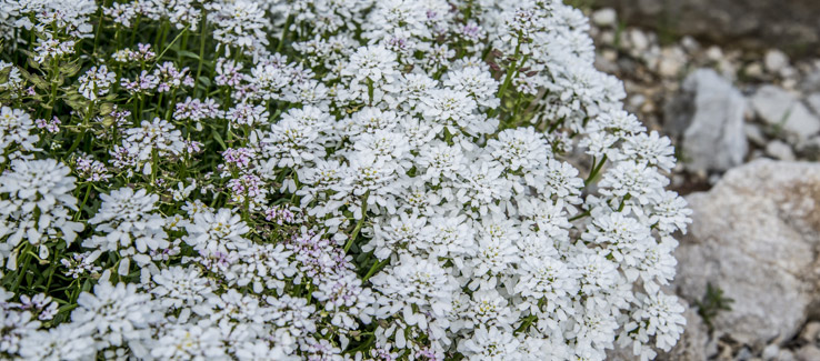 Candytuft flowering plant in fall yard blooming