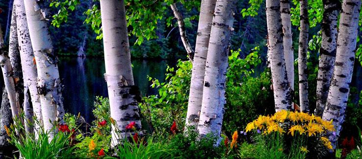 Healing medicinal birch tree for backyard landscape