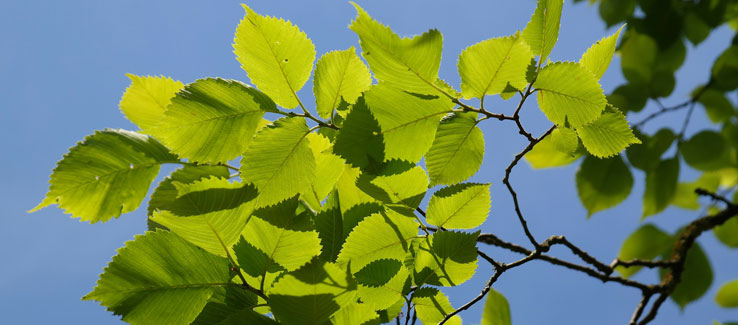 Healing medicinal elm tree and leaves for backyard landscape