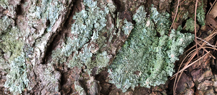 Tree bark covered with lichens