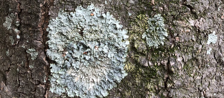 Healthy tree with Lichens growing on its bark