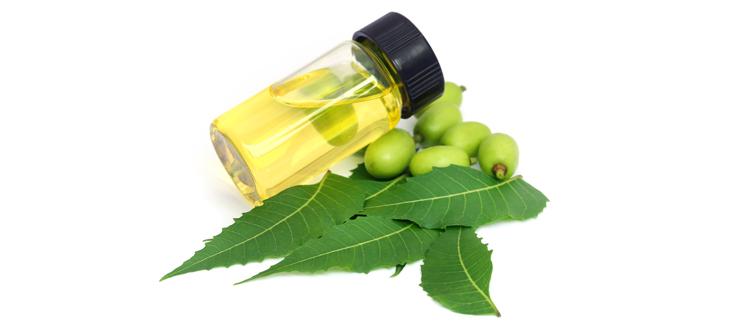 Neem tree fruit leaves oil Atlanta Ga