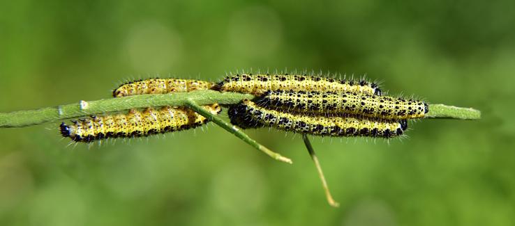 Neem tree oil insecticide Atlanta Ga