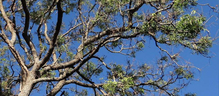 Neem tree information Atlanta Ga