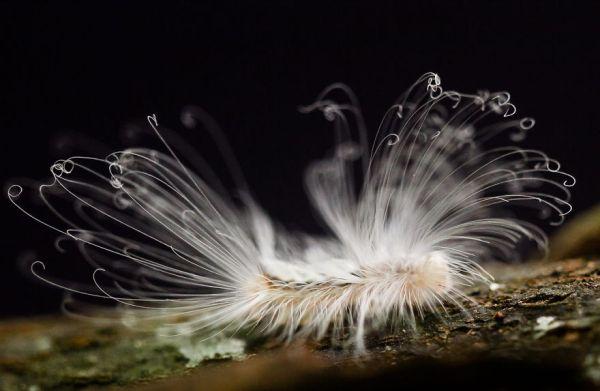 Hairy Caterpillar - Haarige Schmetterlingsraupe