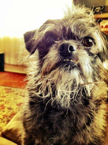 mixed-breed-dogs-pugapoo-pug