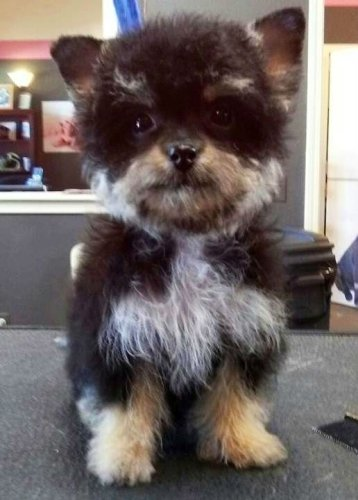 mixed-breed-dogs-yorkipoo-yorkshire-terrier-and-poodle