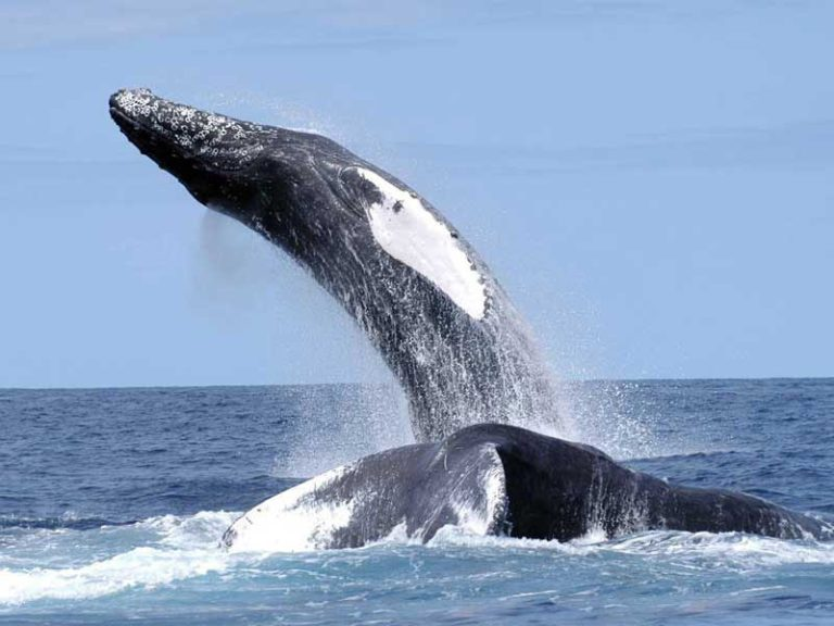 10 Curiosidades bizarras sobre as Baleias