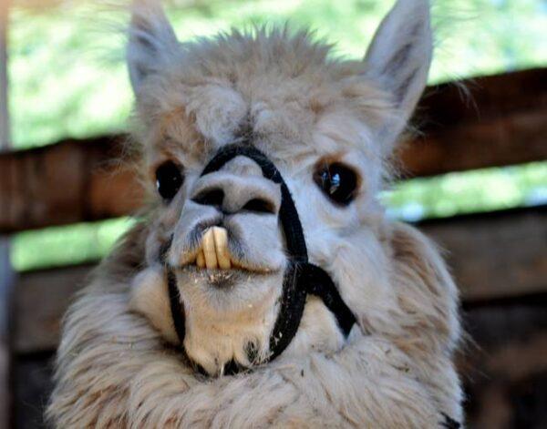 Bucktooth-Llama_art