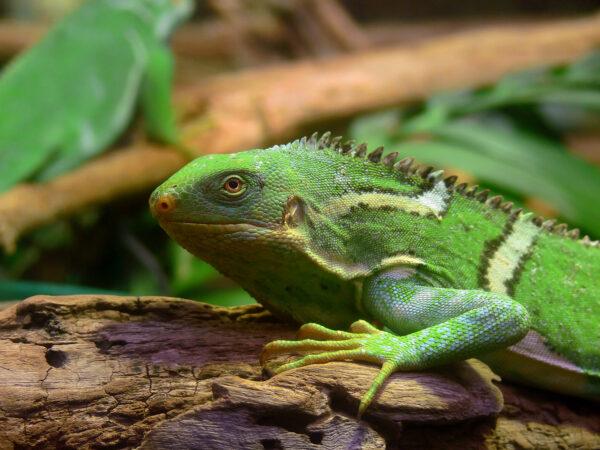 Fiji_Crested_Iguana444