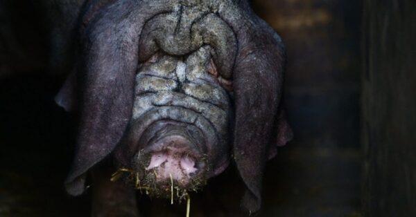 28jun2013---um-porco-da-raca-meishan-e-fotografado-em-seu-recinto-no-zoologico-de-tierpark-em-berlim-nesta-sexta-feira-28-1372433977885_956x500