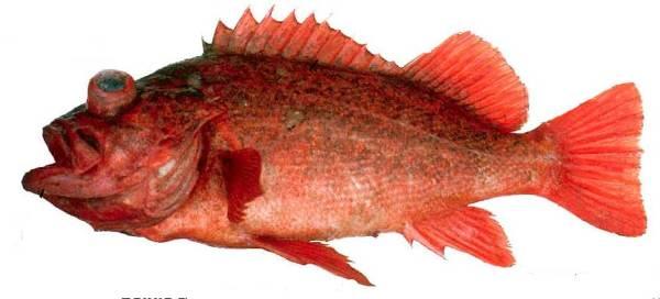VermilionRockfish