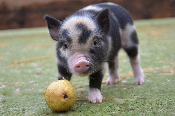 micro-pigs-for-sale-petpiggies