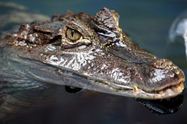 035_crocodile-940x626