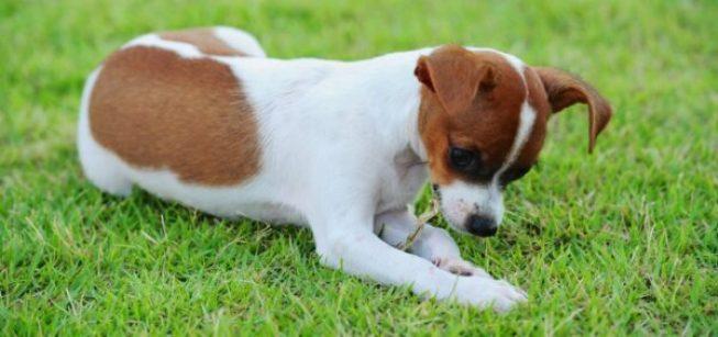 dog-eating-grass-1024x481