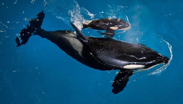 Por que a morte de uma orca está mexendo tanto com o mundo?