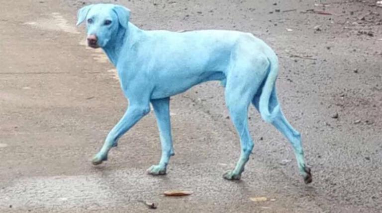 Não é photoshop, esse cachorro é azulado de verdade