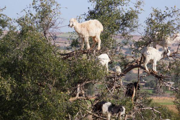 Cabras Argania Marrocos 03 600x400, Fatos Desconhecidos