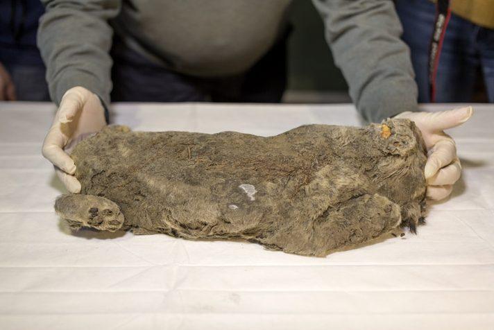Cientistas encontraram esse leão de 55 mil anos e acreditam que podem ressuscitar a espécie